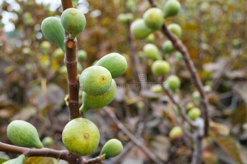 Figi na gałąź figi drzewo, zdjęcie royalty free