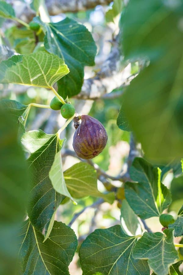 Figi na gałąź figi drzewo zdjęcia royalty free