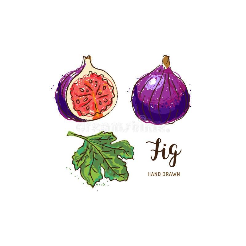 Figi owoc rysunek Akwareli figi na białym tle również zwrócić corel ilustracji wektora royalty ilustracja