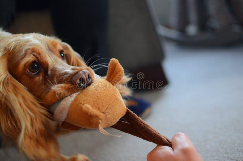 Figlarnie Cocker Spaniel z jej ulubioną nową zabawką obrazy royalty free