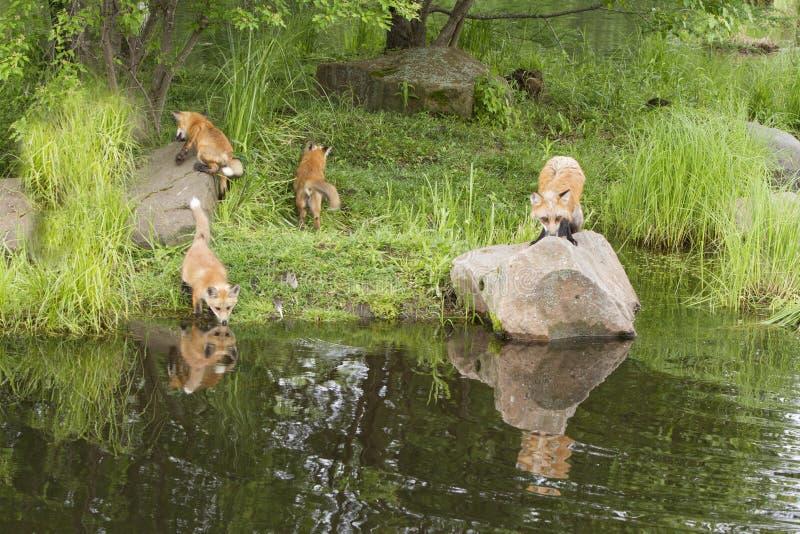 Figlarnie Czerwonego Fox rodzina Blisko jeziora z odbiciami w Jasnej wodzie zdjęcie stock