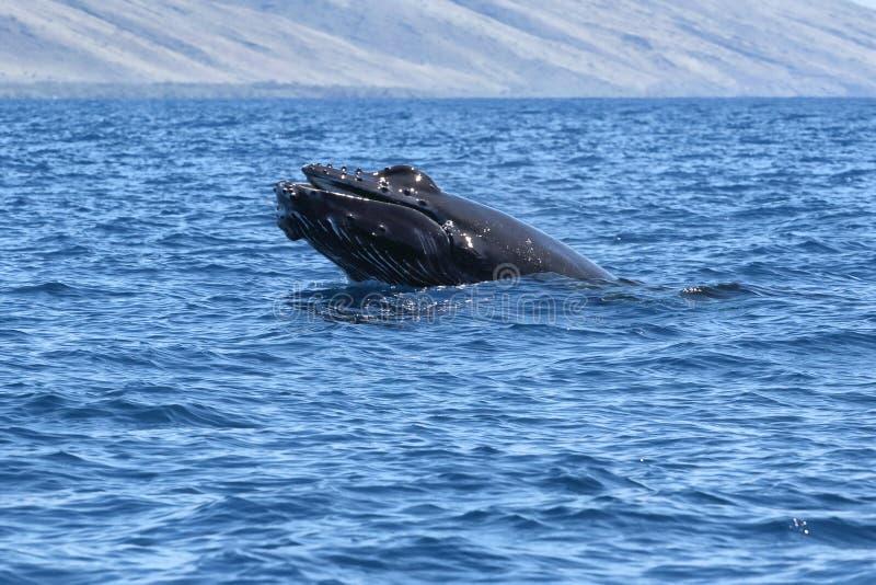 Figlarnie dziecka humpback frollicking w nawadnia blisko Lahaina na Maui zdjęcia royalty free