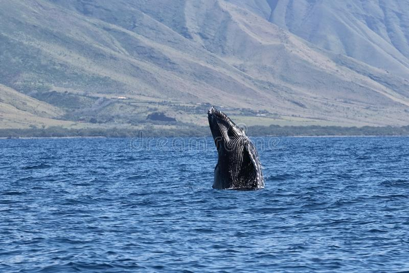 Figlarnie dziecka humpback frollicking w nawadnia blisko Lahaina na Maui obrazy stock
