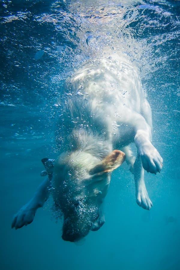 Figlarnie labradora szczeniak w pływackim morzu zabawę odzyskiwać skorupę - psi skok i nur podwodni Stażowe i aktywne gry z fa fotografia royalty free