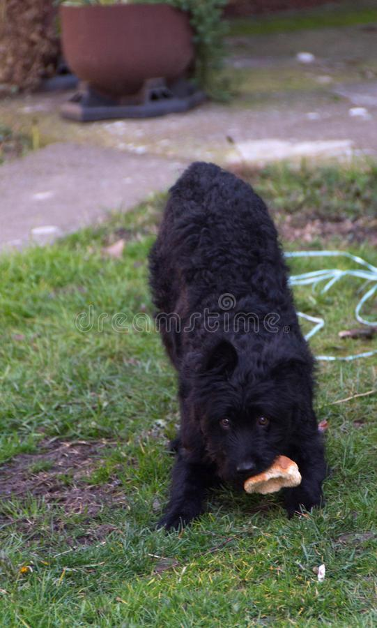 Figlarnie pies, Pulin obraz royalty free