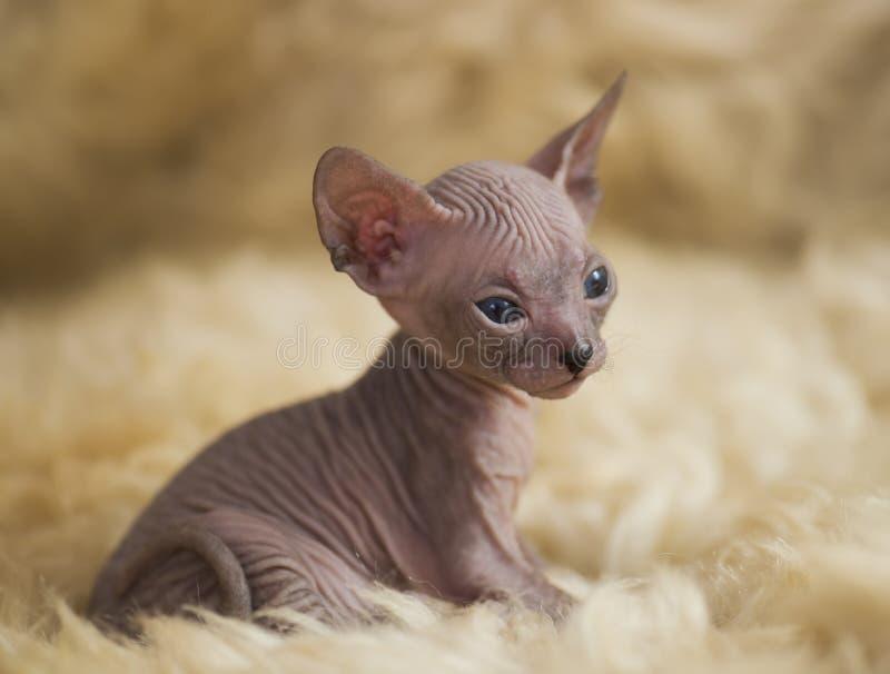 Figlarnie rozochoceni kotów trakeny sfinks Selekcyjna ostrość obraz royalty free