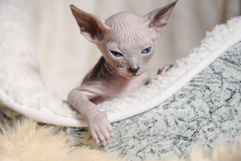 Figlarnie rozochoceni kotów trakeny sfinks Selekcyjna ostrość zdjęcia stock