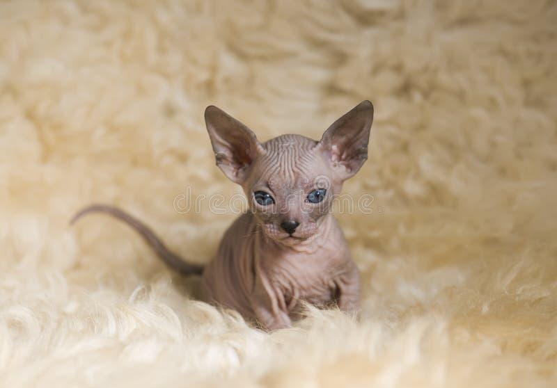 Figlarnie rozochoceni kotów trakeny sfinks Selekcyjna ostrość fotografia royalty free