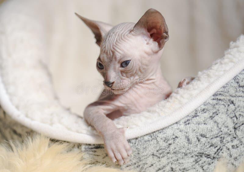 Figlarnie rozochoceni kotów trakeny sfinks Selekcyjna ostrość zdjęcie royalty free