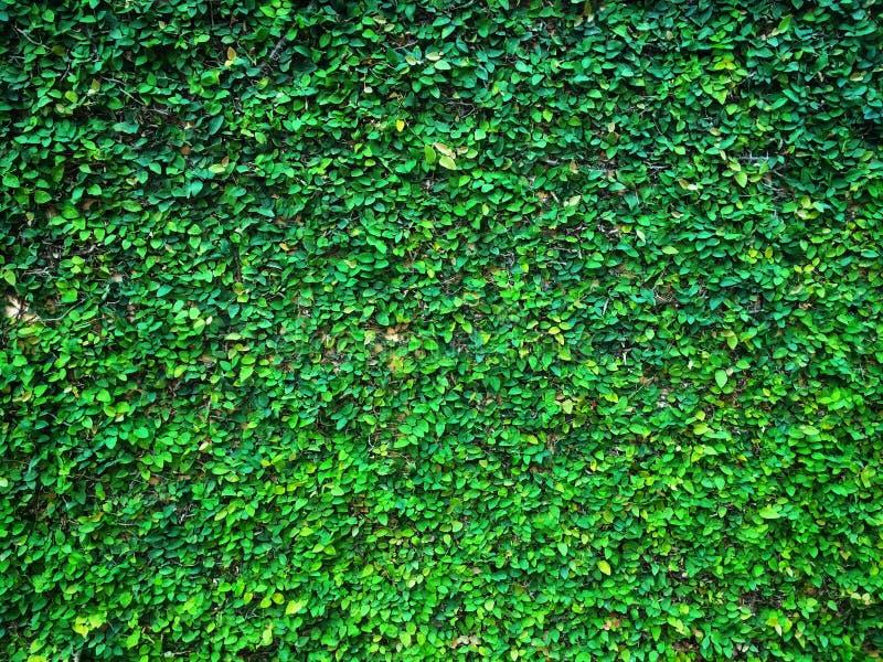 Figo do rastejamento da planta do figo ou pumila de escalada verde do ficus que cresce e para cobrir na parede do cimento imagens de stock