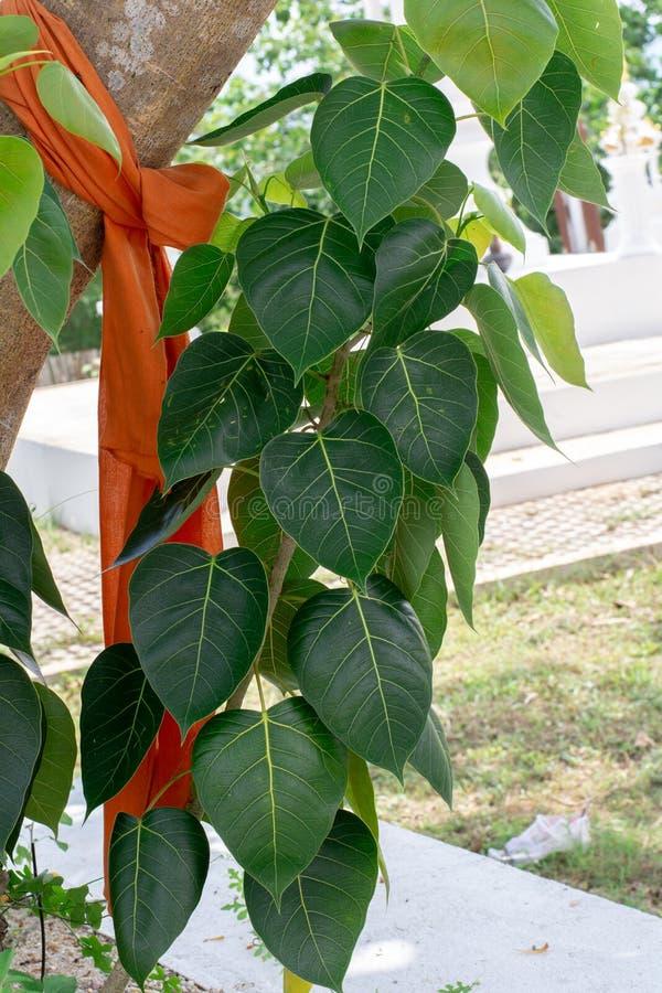 Figo sagrado BO para sair com a árvore no templo tailandês foto de stock royalty free
