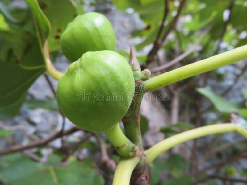 Figos bonitos da cor agradável e do sabor muito bom mesmo sem maduro foto de stock