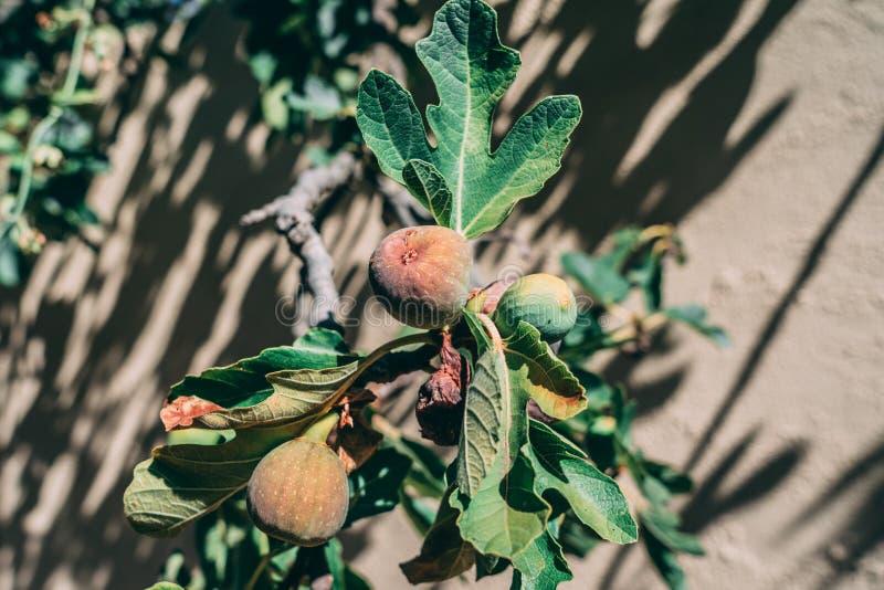 Figos e folhas da árvore de figo imagens de stock royalty free