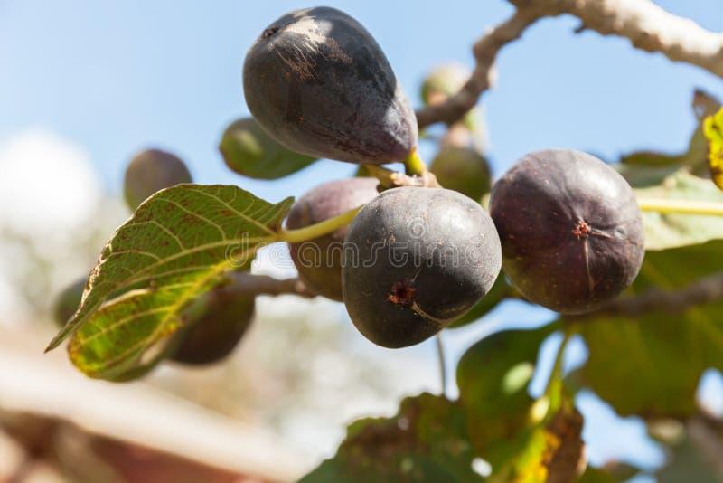 Figos rasgados na árvore imperfeição natural da folha Foco seletivo foto de stock