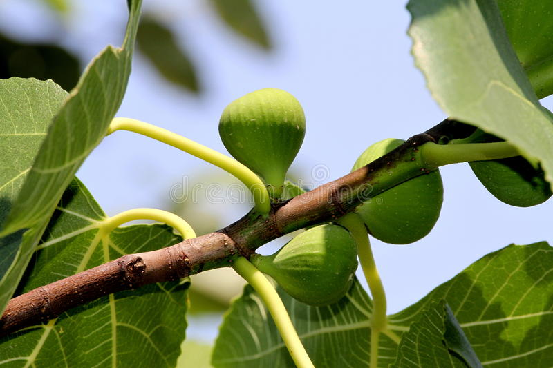 Download Figs on the branch stock photo. Image of appetizer, botany - 26354358