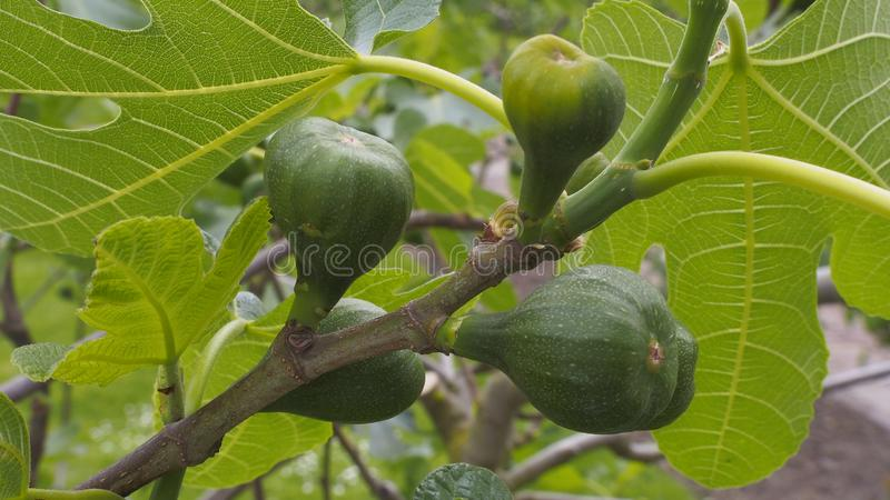 Figs hanging on a tree stock photo