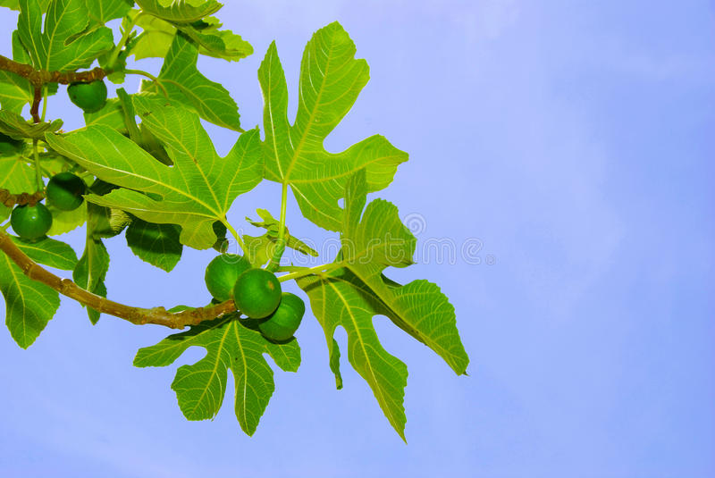 Figs and leaves on blue sky royalty free stock image