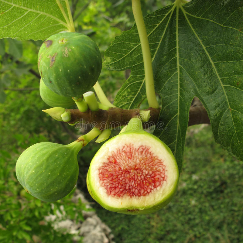 Figs On Tree Royalty Free Stock Images