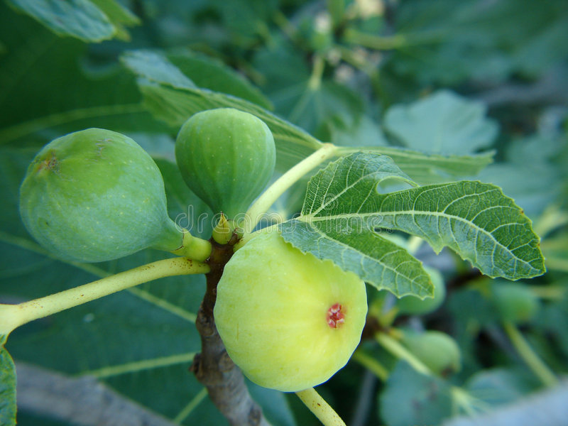 Download Figs on tree stock photo. Image of leaf, fruit, plant - 4425414