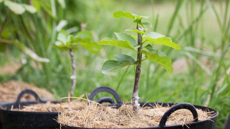 Figs tree grafting stock photo