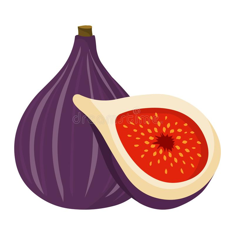 Figs vector.Fresh figs illustration. Figs vector.Fresh figs illustration vector isolated on white background royalty free illustration