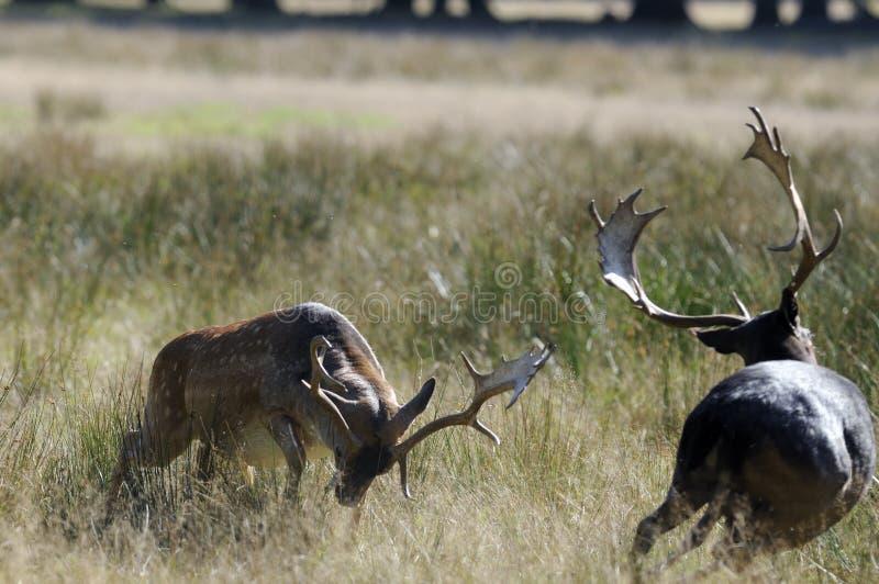figthing的deers 免版税库存图片