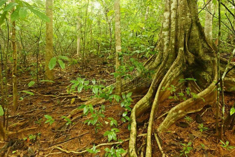 Figue d'étrangleur, Costa Rica images stock