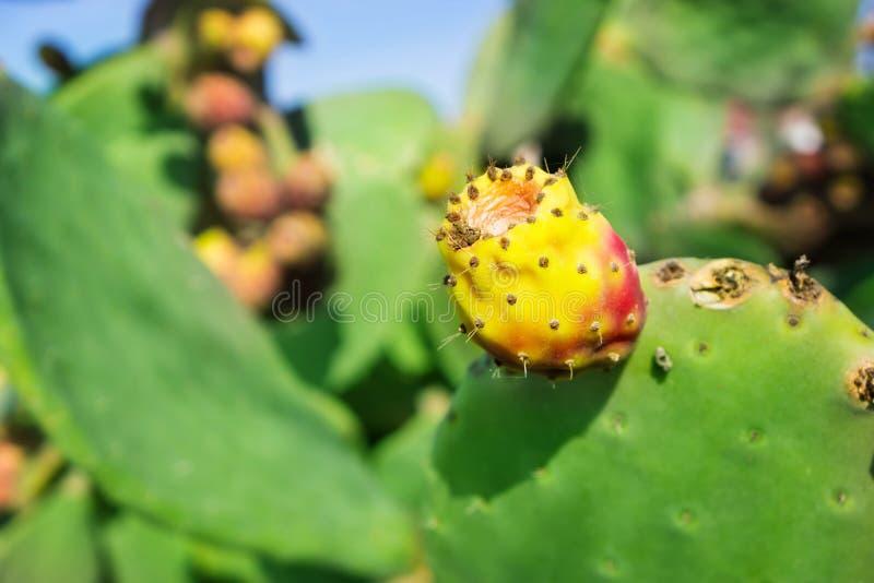 Figue de Barbarie, figues de cactus photographie stock
