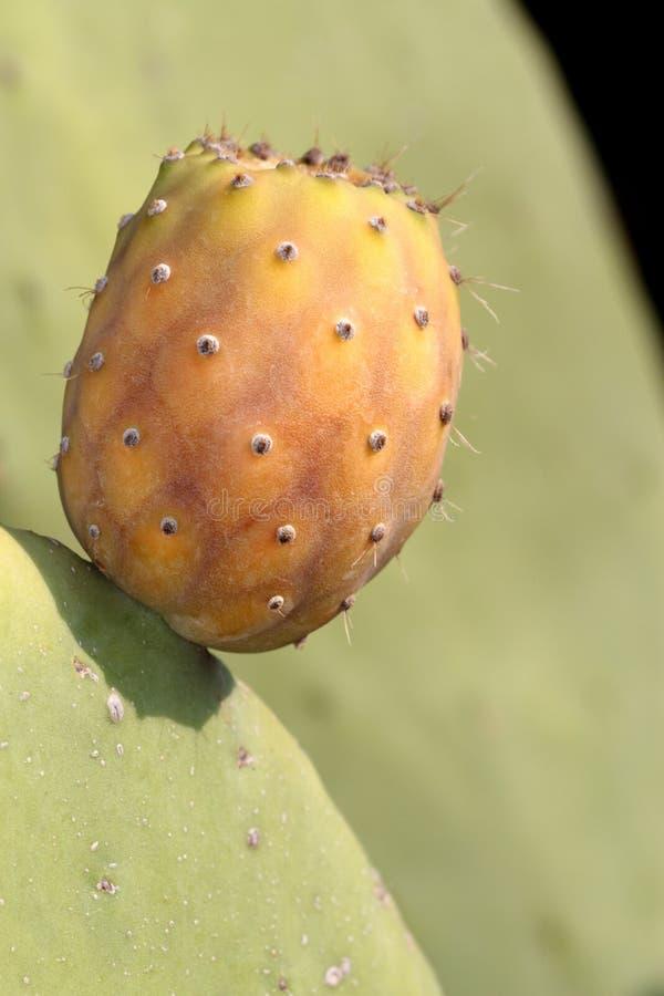 Figue de Barbarie sur un cactus (Figue de cactus) photo libre de droits