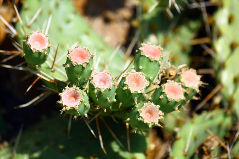Figues épineuses sur un cactus photos stock