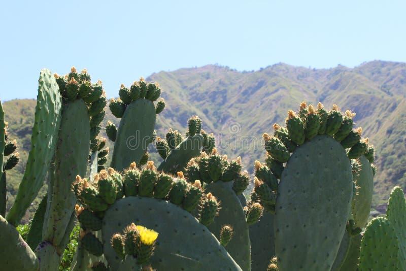 Figues de Barbarie et montagnes sous le soleil de la Sicile image libre de droits