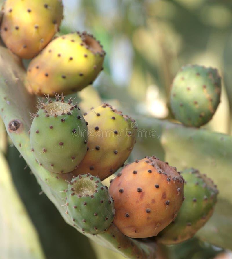 Figues de Barbarie sur un cactus (Figue de cactus) images libres de droits