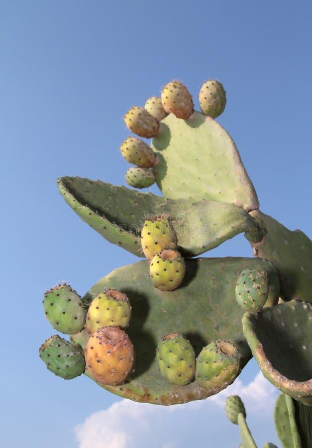 Figues de Barbarie sur un cactus (Figue de cactus) image stock