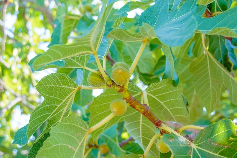 Figues mûrissant sur une branche dans un coin louche d'un jardin Figuier Fruits mûrs de figue sur la branche d'arbre Figues verte photographie stock