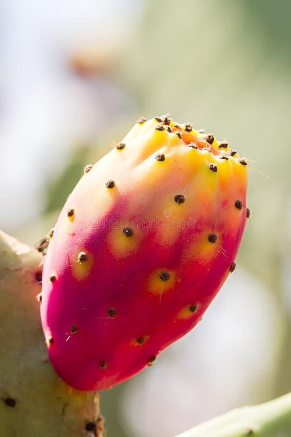 Figues rouges simples de figue de Barbarie ou de cactus sur un arbre, verticale image stock