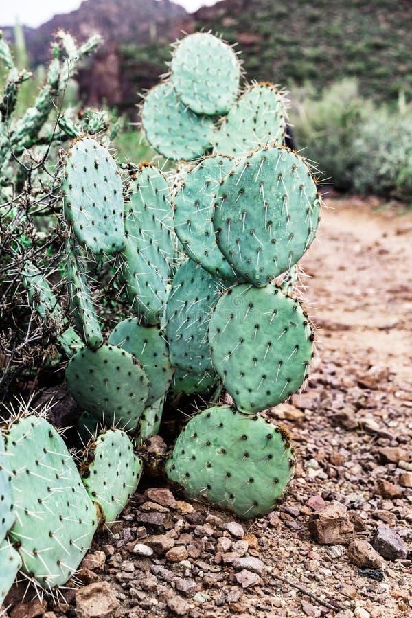 Figuier de barbarie dans le désert de l'Arizona, Etats-Unis photos libres de droits