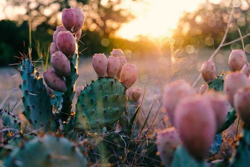 Figuier de barbarie pendant le coucher du soleil photos libres de droits