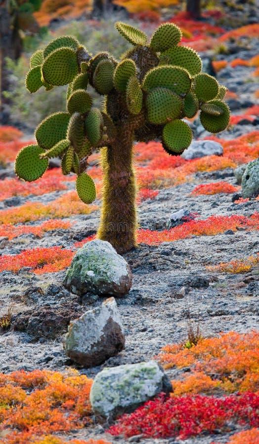 Figuier de barbarie sur l'île Les îles de Galapagos l'equateur images stock
