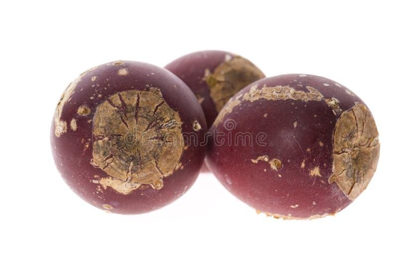 Figuier de de barbarie (opuntia ficus-indica) images stock