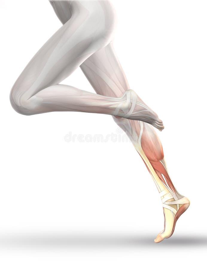figura 3D fêmea que corre com o mapa parcial do músculo ilustração stock
