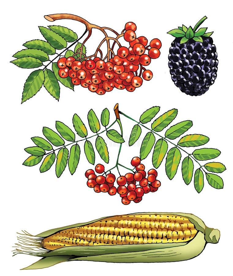 Figura da árvore do arbusto da imagem da amora-preta do milho de Rowan ilustração royalty free