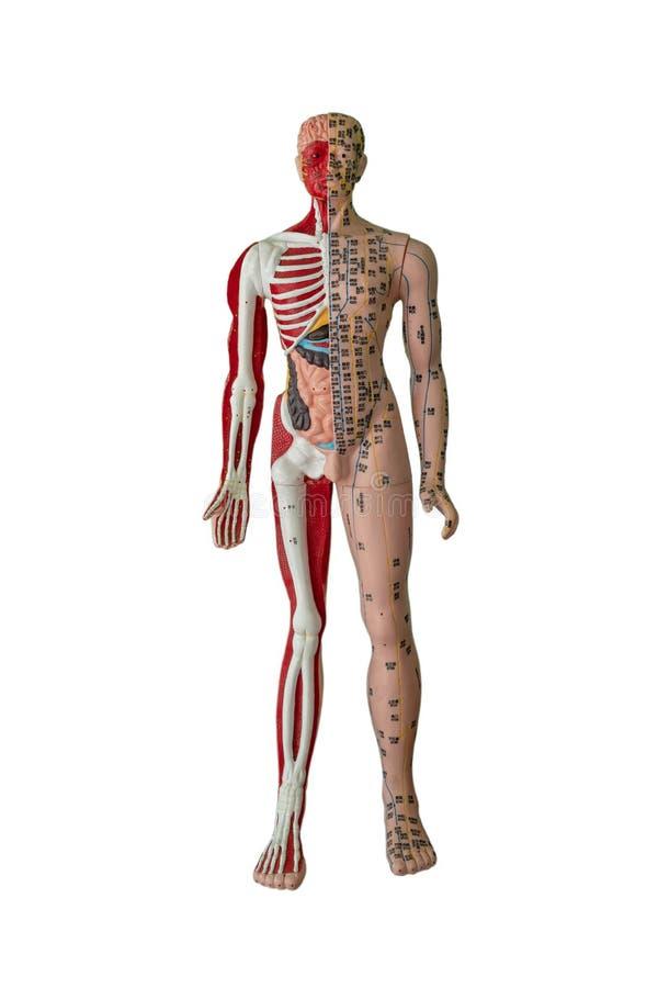 Figura dei punti, dell'osso, del muscolo e dell'organo interno di agopuntura immagine stock