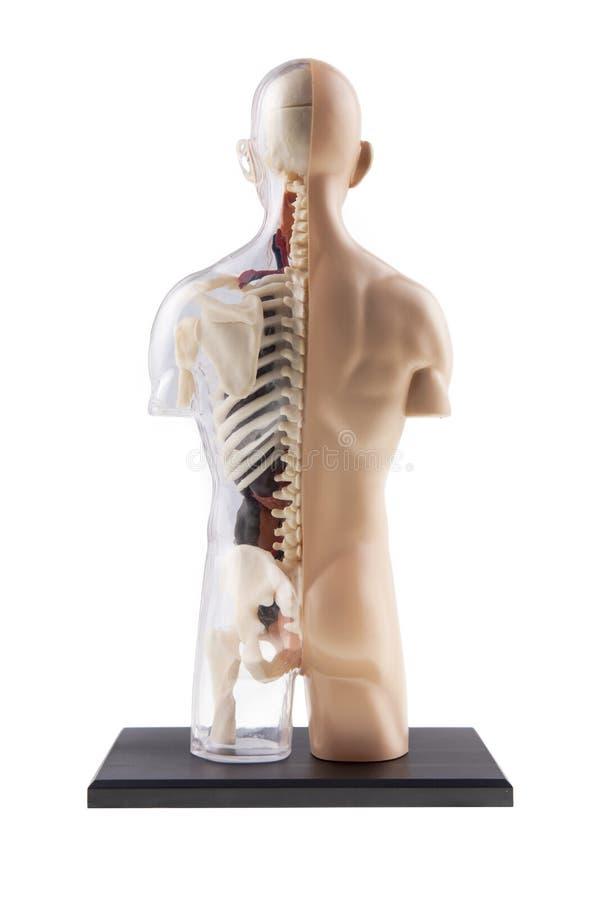 Figura Diagrama Seccionado Transversalmente De Cuerpo Humano ...