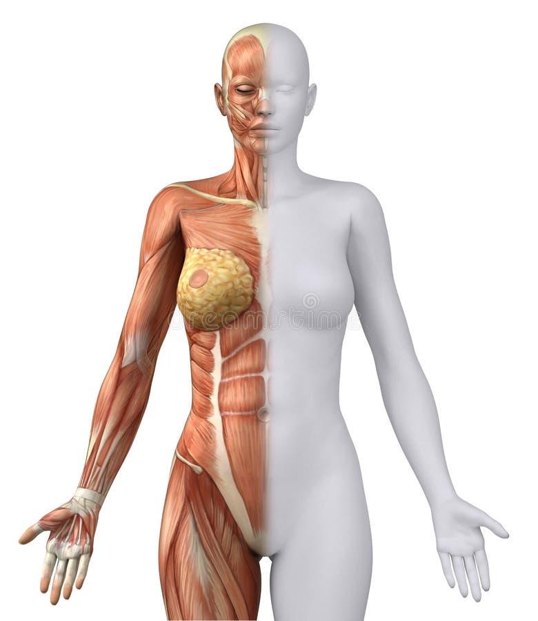 Figura Femenina Blanca En La Posición Anatómica Stock de ilustración ...