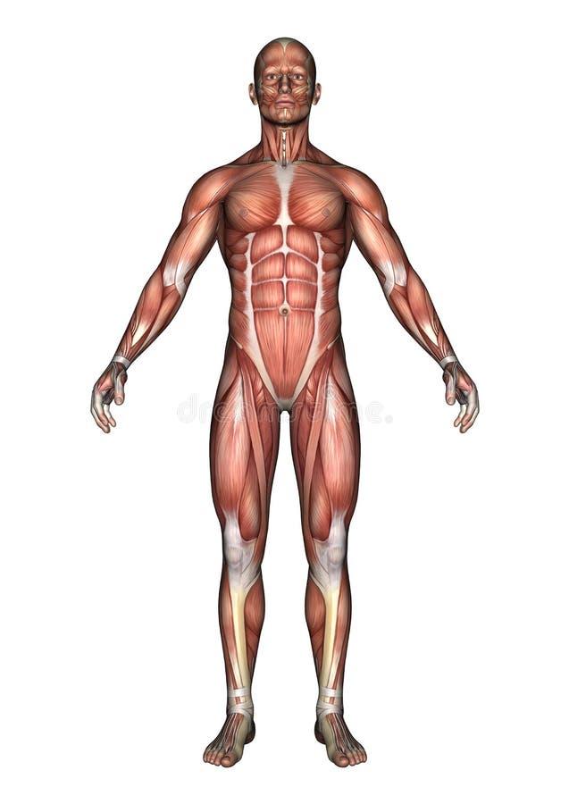 Figura maschio di anatomia royalty illustrazione gratis