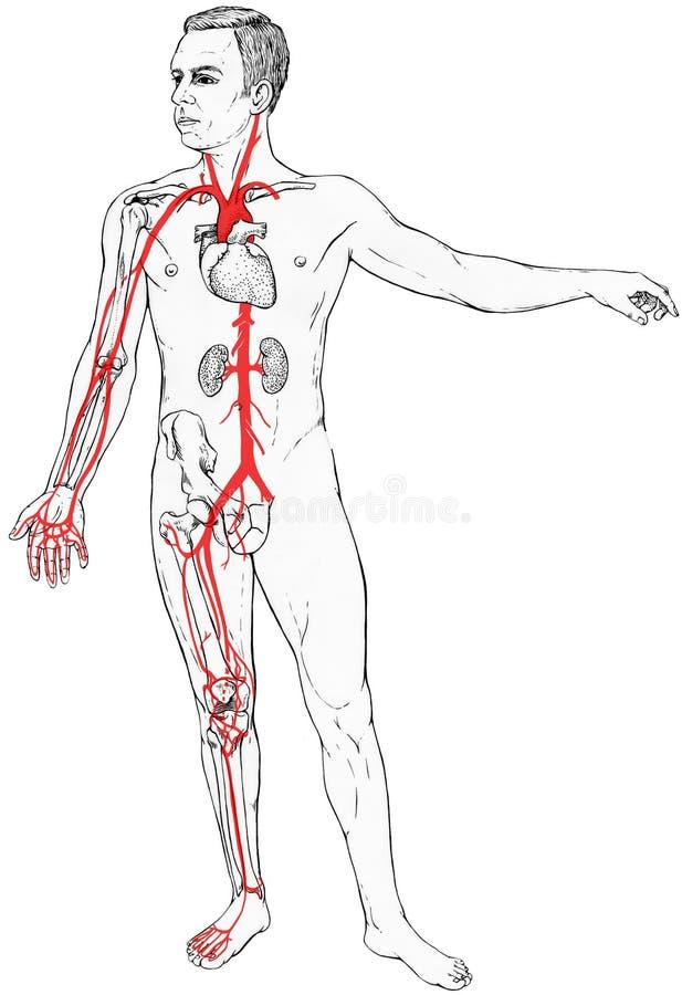 Figura masculina con anatomía interna selecta y vasos sanguíneos ilustración del vector