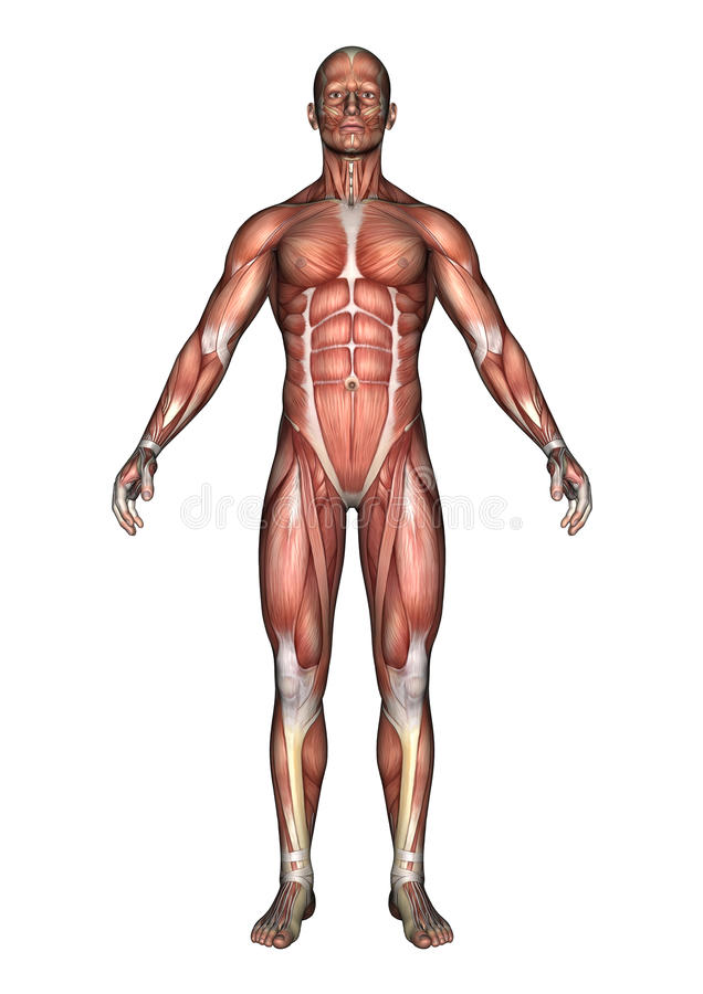 Figura masculina de la anatomía libre illustration