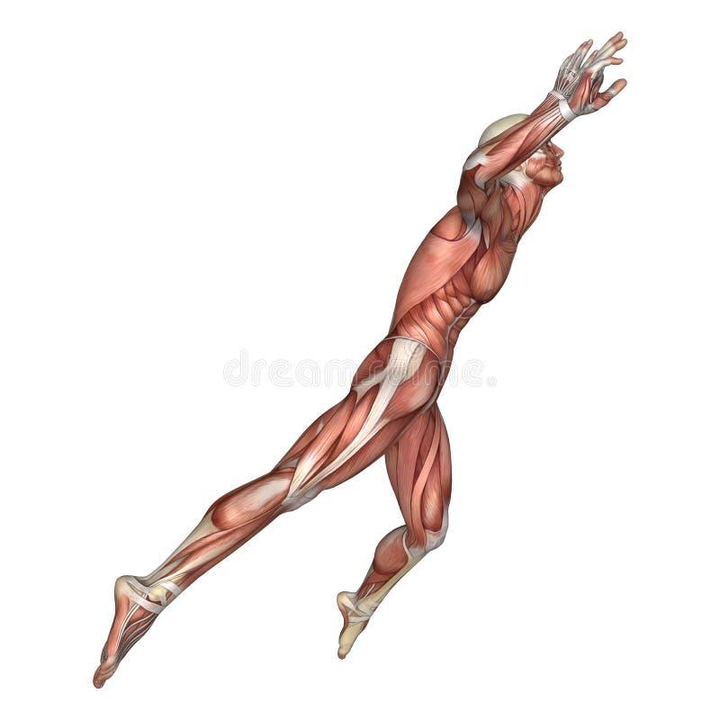 Figura Masculina De La Anatomía De La Representación 3D En Blanco ...