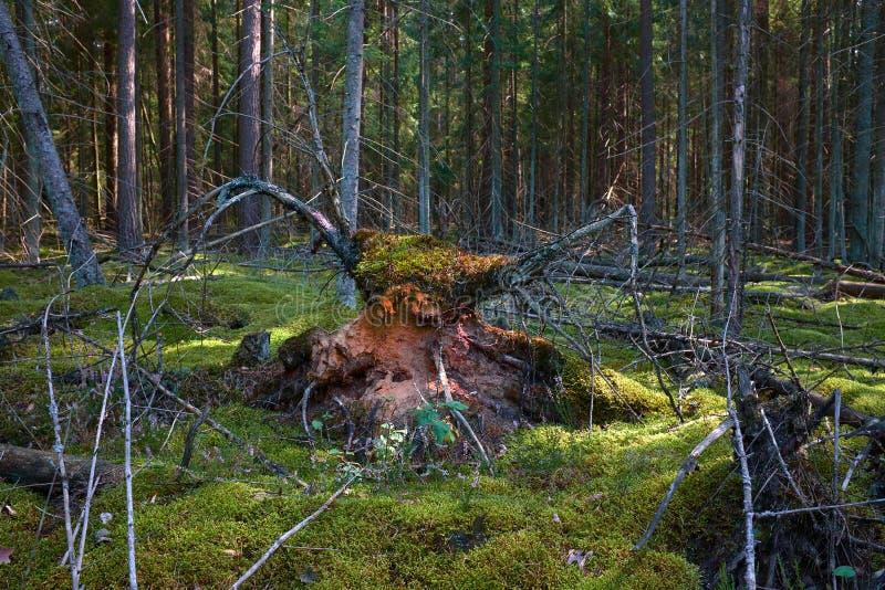Figura mistica della bestia in foresta con fulmine intersting dal lato fotografie stock