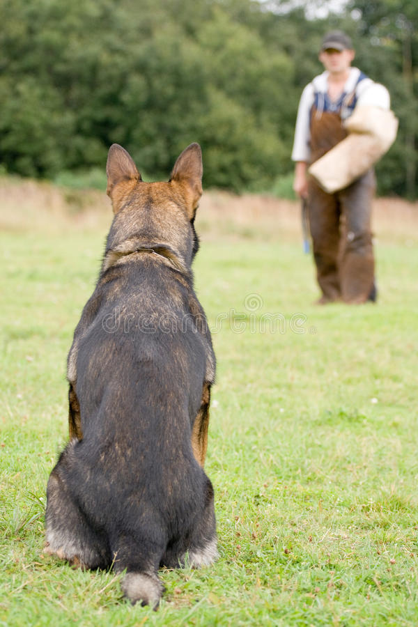 Figurant and German shepherd at work royalty free stock images